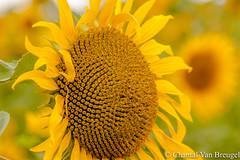 Zonnebloem (Chantal van Breugel) Tags: bloemen zonnebloem macro duitsland eifel canon50d canon70300