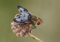 Ectophasia crassipennis (Fotografa de Naturaleza de Paco Moreno Gmez) Tags: flora fauna fotografa naturaleza andalucia parque natural sierra aracena picos aroche mosca diptero tachinidae