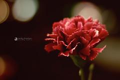 Carnations-5760 (rsmeedia) Tags: carnations nikon 50mm nikond3200 d3200 nikor