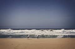 a birds day afternoon (blackjack66) Tags: canon7d canon canoneos7d sigma50mmf14art lakesentrance beach seagulls birds sea ocean