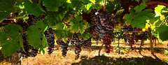 bunches of grapes (hoangcongminh71) Tags: grape raisin vigne vine vineyard vignoble vin wine vindebordeaux saintemilion bunchofgrapes grappe rebe weinbau weinberg weinrebe veraison