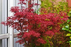 Autumn delight... (vanstaffs) Tags: acer japanesemaple