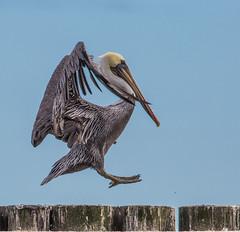 Brown Pelican (Pelecanus occidentalis) (NigelJE) Tags: brownpelican pelican pelecanusoccidentalis pelecanus pelecanidae nigelje westport westportmarina