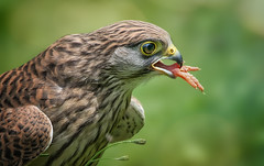 Gib Pftchen .... (ellen-ow) Tags: adler fressen bird greifvogel falke raubvogel eagle ellenow fus nikond5