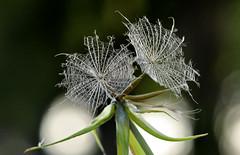 Dandelion (inge_rd) Tags: dandelion pusteblume bocksbart wiesenbocksbart makro macro bokeh blowball