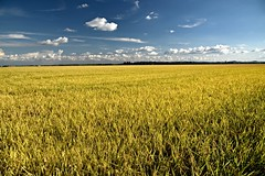 Yellow rice fields () Tags: riso giallo yellow rice spighe ears risaia risaie campagna country paesaggio landscape agricoltura field fields cielo sky nuvole clouds