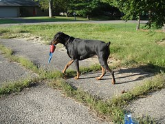 1474632570_2016_Sep_23_08-09-30_kongxx622 (yclept8) Tags: doberman julie
