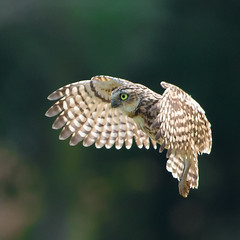 Burrowing Owl coming in to land (DP the snapper) Tags: birdsofpreycentrenewent burrowing owl flying sillhouete icbp