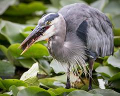 Eye to Eye (mLichy911) Tags: green gbh great blue heron bird pnw wa seattle wildlife nature meal snack action canon 7dmarkii 500f4 portrait fall lake washington