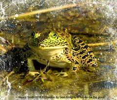 American Bullfrog (NancySmith133) Tags: americanbullfrog lakeapopkanorthshorewildlifedrive centralfloridausa orangecountyfl wetlands amphibians