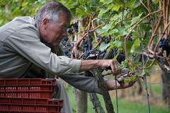 Hand picked for the ros (Dannis van der Heiden) Tags: vinedresser vinyard winary winegrapes bluegrapes grapes handpicked man glasses cutting nijkerk netherlands slta58 sigma18300mm