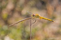 Equilibri - Balanced (McGuiver) Tags: canon canoneos60d canon100macro macro wildlife libelula libellula dragonfly sympetrum striolatum deltadelebre ebrowetlands ebro