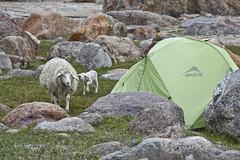 they can eat your tent (sami kuosmanen) Tags: mountains green grass rock sheep meadow tent geology himalaya dara msr medow lammas niitty vuoristo himalaja chotta teltta