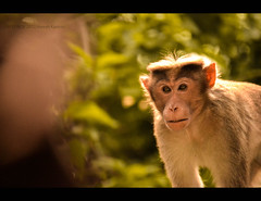 Desire to live. (HareshKannan) Tags: india up monkey nikon close bokeh live hill desire ooty 55200mm d3100