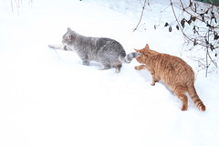 033 (piaktw) Tags: winter playing cat kitten sweden britishshorthair got luddkolts zigne bluetortiespotted