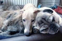 (adore62) Tags: iggy pug whippet terrier pugs italiangreyhound borderterrier dogsasleep italiangreyhoundpuppy