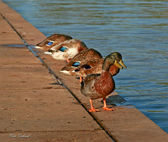 Wet Legs (Nira Dabush) Tags: lake water birds photography telaviv pond artist photographer fineart ducks   ramatgan           niradabushberkovitz   hayarkonparkisrael