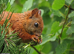20120714_1 Red squirrel (Sciurus vulgaris) working on a pine cone | Gothenburg, Sweden (ratexla) Tags: life red wild summer favorite orange cute green nature beautiful animal animals forest gteborg cool hands woods squirrel squirrels europe sweden earth wildlife gothenburg norden skandinavien skog sverige paws scandinavia biology ekorre animalplanet knuckles scandinavian 2012 goteborg zoology redsquirrel tellus djur organism nonhumananimals sciurusvulgaris nordiccountries catchycolorsorange vilda vild ekorrar europaeuropean almostanything nonhumananimal unlimitedphotos ratexla photosbyjosefinestenudd photophotospicturepicturesimageimagesfotofotonbildbilder theeternityset canonpowershotsx40hs 14jul2012