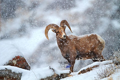 Snowy Bighorn Ram (Daryl L. Hunter - The Hole Picture) Tags: usa unitedstates