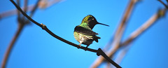 Female Anna's Hummingbird on branch (spollock61) Tags: bird oregon branches birdfeeder pacificnorthwest hillsboro hummingbrid maleannashummingbird pinkheadedhummingbird