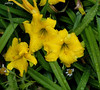 Day Lily (pat.bluey) Tags: flower green water leaves yellow drops australia daylily newsouthwales 1001nights mygarden montijoverdeamarelo 1001nightsmagiccity hennysgardens