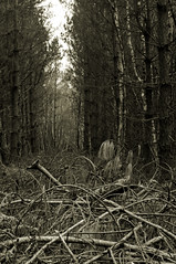 The Dark Wood (Rich3591) Tags: wood bw monochrome sepia dark alley cut timber debris corridor hampshire pines forestofbere creechwoods