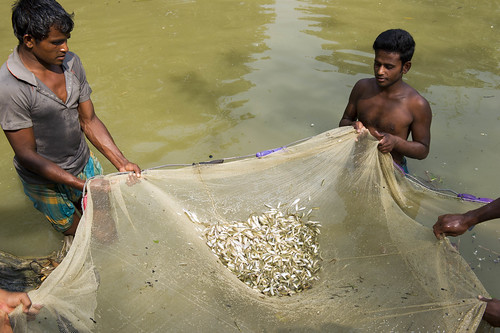 Harvesting fish in Dinajpur, Bangladesh. Photo by Finn Thilsted, 2012.