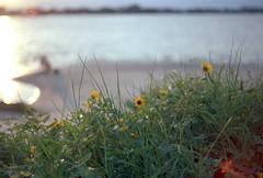Morning Beach Time (Leicaflex SL, 50mm Summicron) (PositiveAboutNegatives) Tags: leica morning flowers dog slr film beach analog sunrise 50mm dawn lab labrador glare mechanical florida kodak sl summicron vintagecamera manual coolscan manualfocus intercoastal 11215 intracoastal leicaflex leitz gold100 primelens mechanicalcamera 50mmsummicron colorneg vuescan leicar leicaflexsl 50mmsummicronr colorperfect nikon9000scanner leicafleximages leicaflexpictures leicafleximage leicaflexpicture flowersinmorninglight leicafilmphotography freefilmimages freefilmpictures