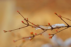 (Alias_239) Tags: snow tree iran blossom pomegranate bud   qom