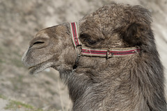 cap12138.jpg (keithlevit) Tags: pets animal horizontal closeup turkey fur mammal outdoors middleeast nopeople headshot camel livestock domesticanimals halter cappadocia bridle goreme nevsehir partof oneanimal domesticanimal animalhead animalface animalthemes workinganimal esentepe centralanatolia animalhair animalneck animalbodypart