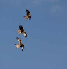 Follow My Leader - Llanddeusant Red Kite Feeding Station (PontyCyclops) Tags: red kite station feeding llanddeusant