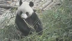 PANDAS GEANTS   en plein djeuner (christian mange) Tags: china chengdu sichuan chine pandas gants