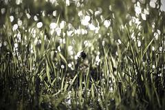 alone in the grass (mafratra) Tags: light verde green nature grass canon spring bokeh natura rimini erba prato romagna santarcangelodiromagna