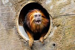 Golden-headed Lion Tamarin (Leontopithecus chrysomelas) (KimLomman) Tags: monkey tulsa tamarin tulsazoo leontopithecuschrysomelas goldenheadedtamarin goldenheadedliontamarin liontamarin