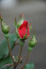 Coming Soon (reed photo) Tags: flowers red rose spring bud