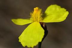 Xyris Complanata (andreas lambrianides) Tags: wildflower hatpins australiannativeplant australianflora xyridaceae wallum xyriscomplanata