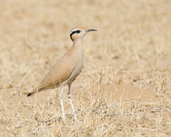 Cream colored courser (Aravind Venkatraman) Tags: morning india bird birds nikon indian birding cream 300mm national dslr aravind coloured birdwatching f4 birder cursor bikaner nationalgeographic courser creamcolouredcourser birdphotography cursoriuscursor cursorius 14tc nikondslr birdsindia indiabirds incredibleindia indianbirds birdphotographer dslrnikon nikon300mmf4 avphotography nikon14tc d7000 nikond7000 d7000nikon aravindvenkatraman