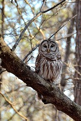 Barred Owl (TimothyJ) Tags: creek trails owl marvin barred sope
