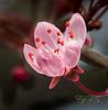 Half open Flowering Plum (Eye of G Photography) Tags: flowers usa macro places northamerica washingtonstate floweringplum lakestevens