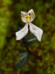 DisperisFH2_0666 20130328 0954 tripetaloïdes (evideerf2002) Tags: flower nature fleur réunion situ wildorchid orchidéesauvage disperis