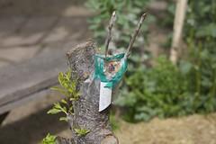 IMG_2066 (ecologycenterberkeley) Tags: garden berkeley spring raw plum permaculture grafting graft ecohouse