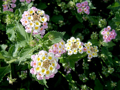 #8295 yellow and purple lantana () (Nemo's great uncle) Tags:  lantana lantanacamara camara flower flora  palmdesert california ca usa