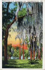 Spanish Moss in St. Petersburg, FLA. (St. Petersburg Museum of History) Tags: tree history nature vintage historic spanishmoss archives stpetersburgflorida stpetersburgmuseumofhistory stpetersburgmuseumofhistoryarchives