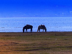 "Grazing horses at ""Lashi Lake"" - known for its migratory birds (PsJeremy) Tags: migratorybirds grazinghorses lashilake"