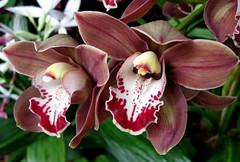 Tahitian Rose (Puzzler4879) Tags: flowers orchids ngc pointshoot nybg botanicgardens canonpowershot newyorkbotanicalgarden canondigital canonaseries bronxbotanicalgarden canonphotography frameit perfectpetals cymbidiumorchids canonpointshoot flickraward nybgorchidshow a580 orchidshows canona580 canonpowershota580 powershota580 amazingdetails unforgettableflowers mygearandme silveramazingdetails photographyforrecreation level1photographyforrecreation