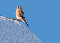 American Kestrel's Last Look at Winter (Fort Photo) Tags: male bird nature nikon colorado wildlife birding fortcollins falcon co ornithology americankestrel kestrel birdofprey sparrowhawk larimer d300 falconiformes falconidae falcosparverius photoninja