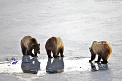 Reflection, three grizzly bears (Daryl L. Hunter - The Hole Picture) Tags: usa unitedstates wyoming jacksonhole grandtetonnationalpark grizzly610andcubs grizzlybearreflection
