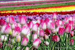 Tulip Field (Gary Grossman) Tags: oregon spring colorful tulips northwest pacificnorthwest willamette woodburn willamettevalley springcolor