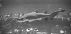 IMG_0925 (shirokami85) Tags: white black animals penguins dubai sony sharks fishes burj rx100 khaleefa
