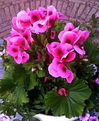 Me Garden flower Geranium (JaapCom) Tags: flowers plant flower apple garden 4 tuin van geranium lente bloemen jaap fotography bloem iphone voorjaar bloei gardenhome wezep bloeien werven